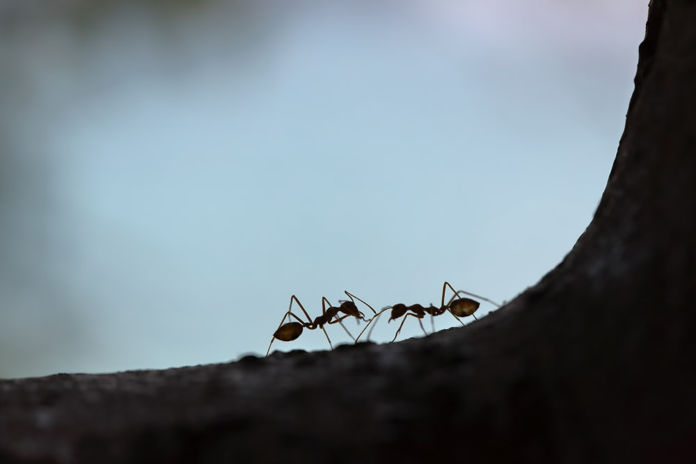 two black ant