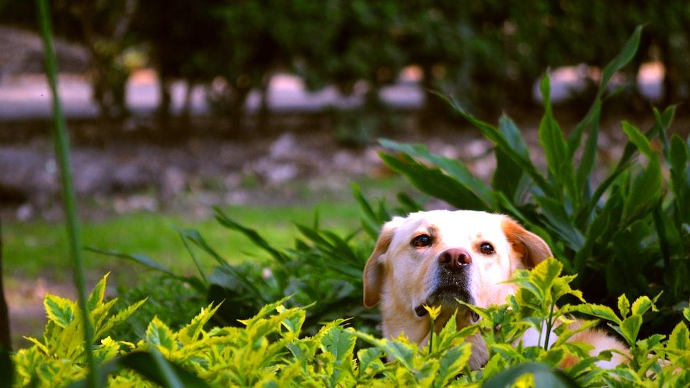yellow Labrador retriever hiding on green leaf plants