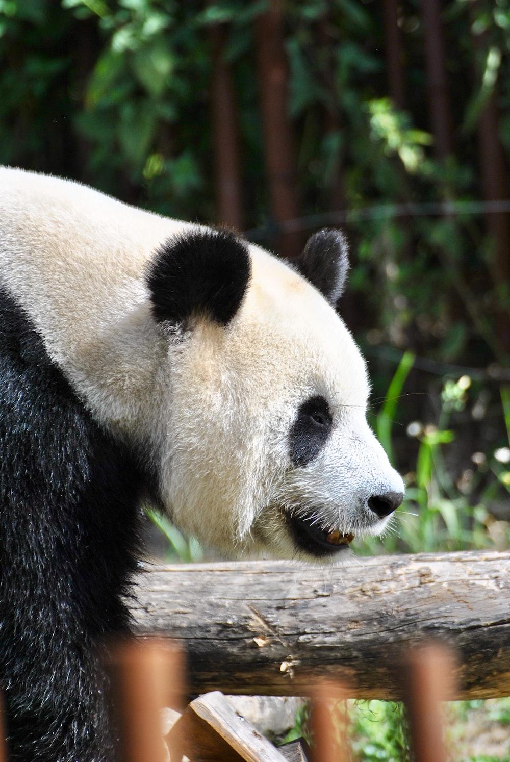 black and white panda bear near green plant