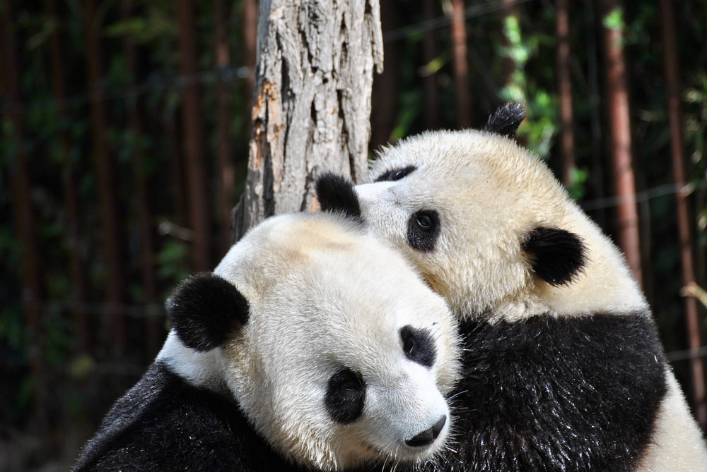 two pandas hugging in front of tree during day