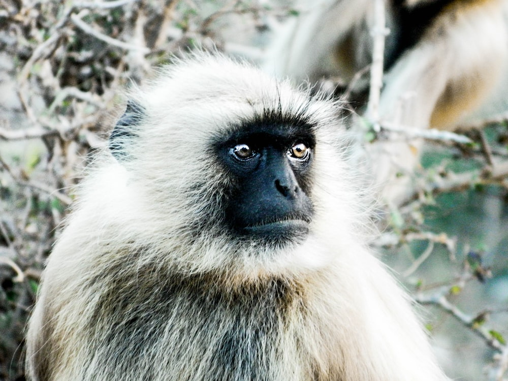 black faced monkey close-up photography