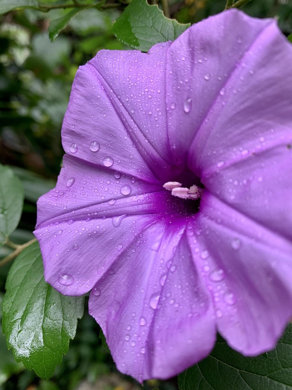 dew covered purple flower