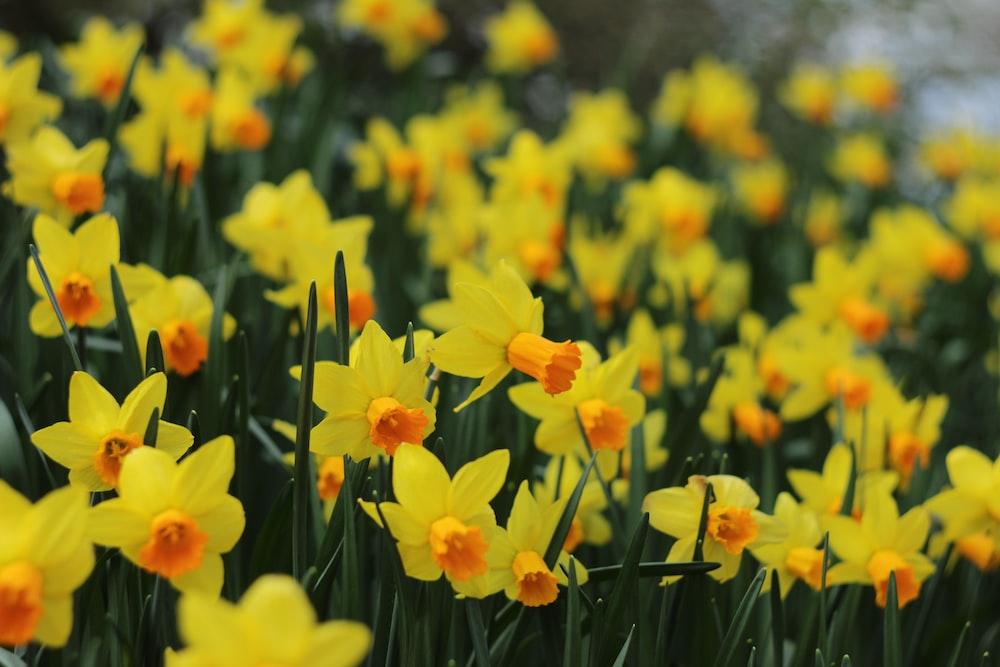 Narcissus (Foto: Unsplash/Marina Lakotka)