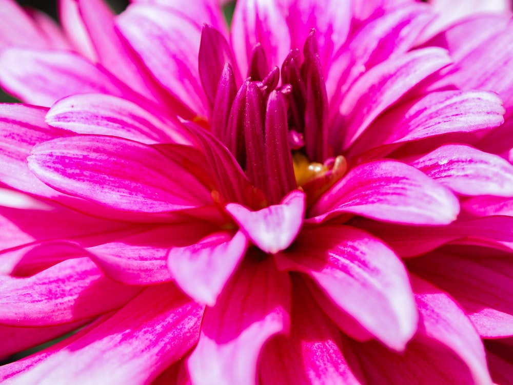 selective focus photo of pink gerbera flower
