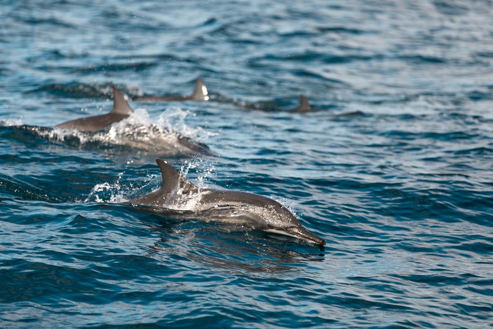 two dolphins swimming on body of water