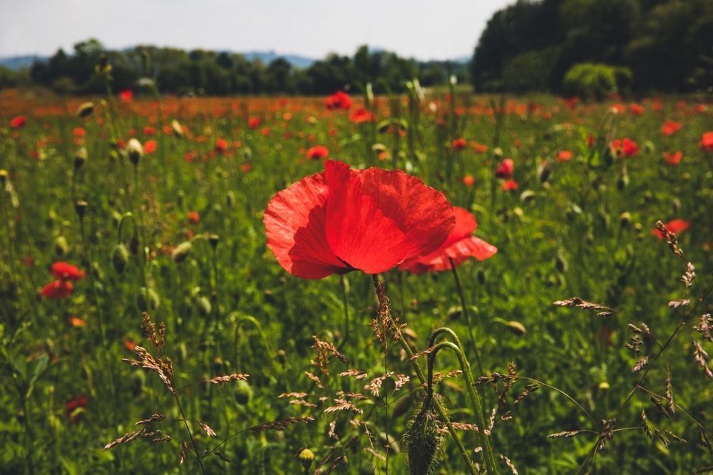 red poppy flowers blooming at the field