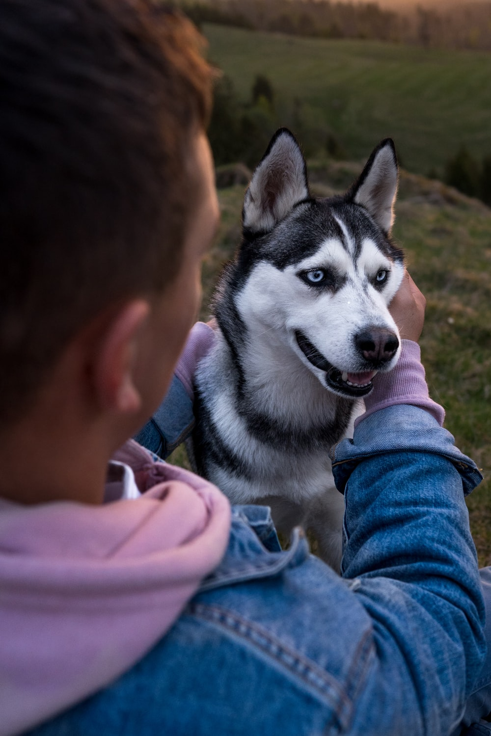 person touching black and white Siberian husky