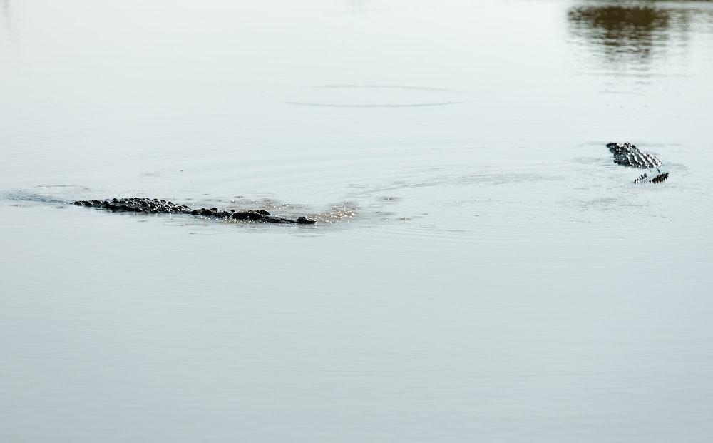 black crocodile on lake