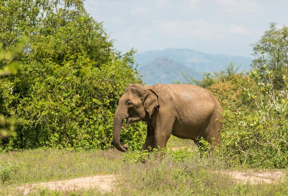 gray elephant eating grasses