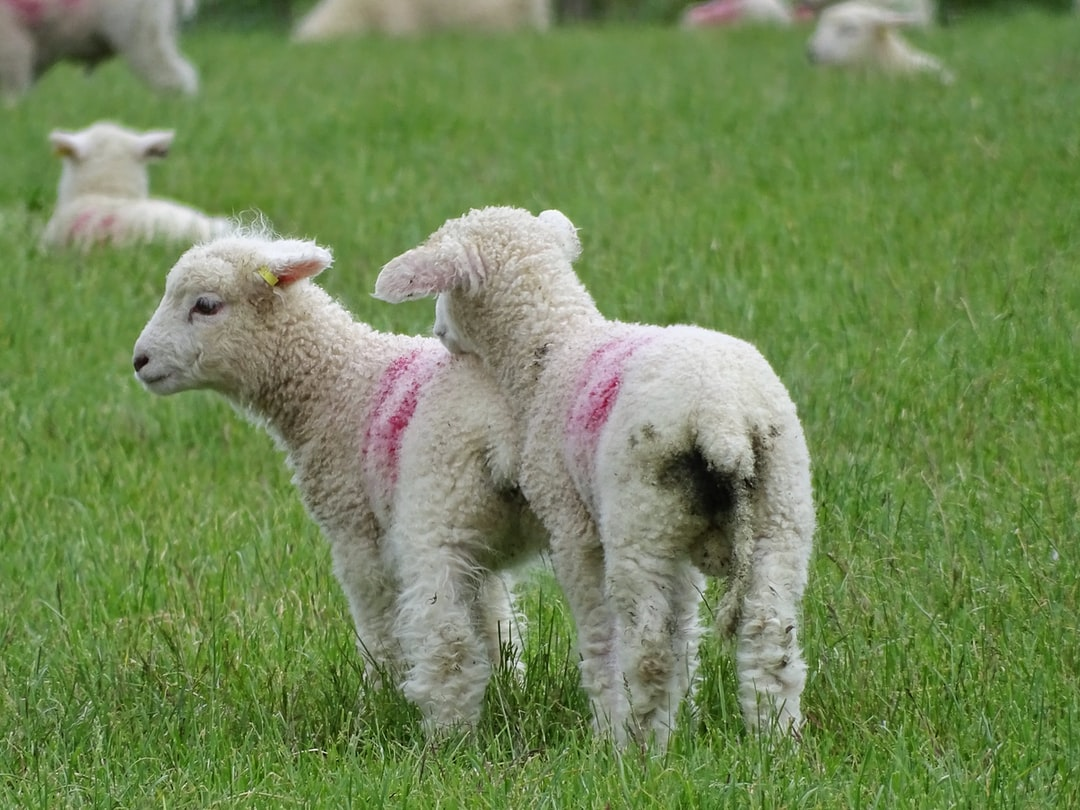 Twin girl lambs in the Wiltshire Countryside, playing and cuddling together. The pink marking identifying them a female.  Such a lovely time of year and to see these two gorgeous lambs, a beautiful moment.