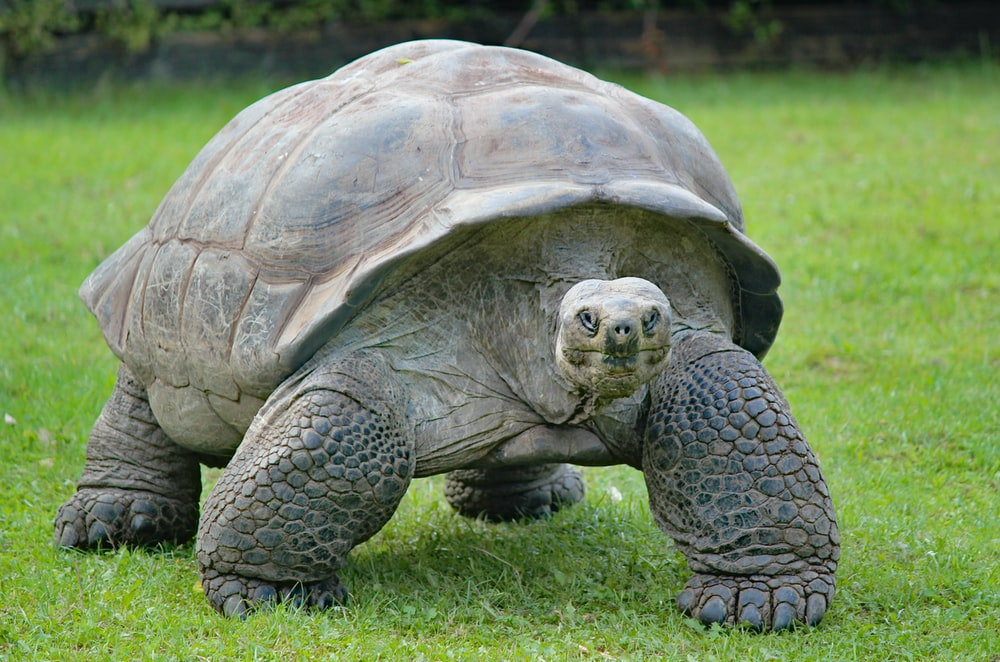 gray and black turtle