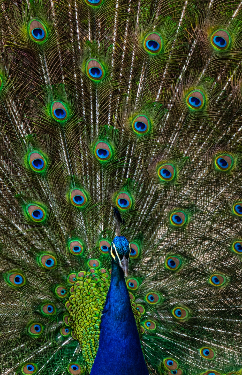 100 Peacock Pictures Hd Download Free Images On Unsplash