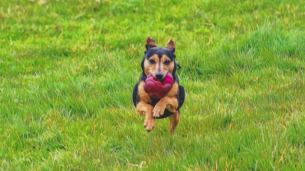 dog biting chew toy while leaping above green grass