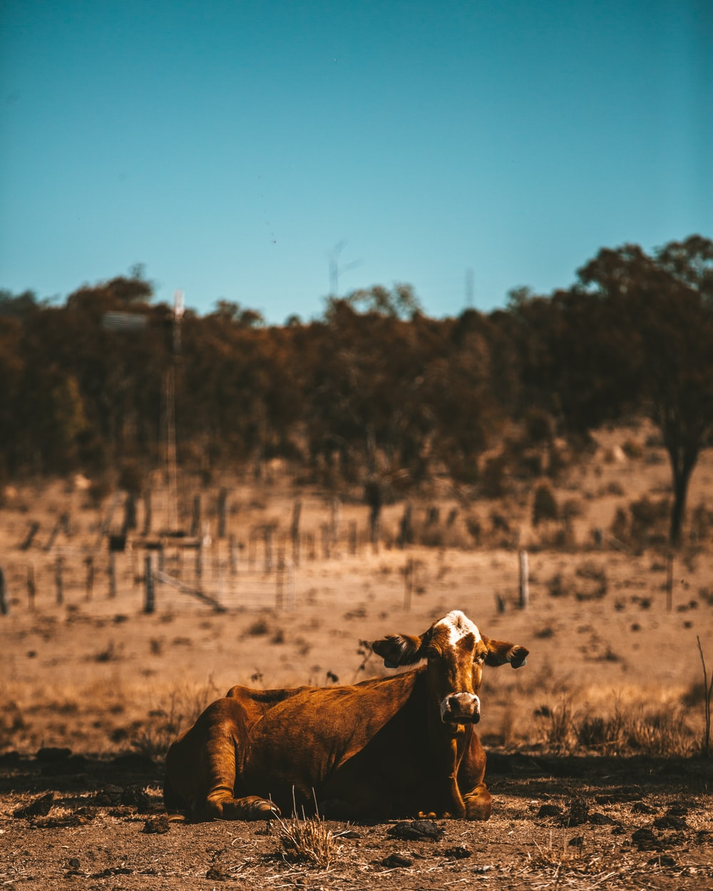 brown cattle lying on brown ground during daytime