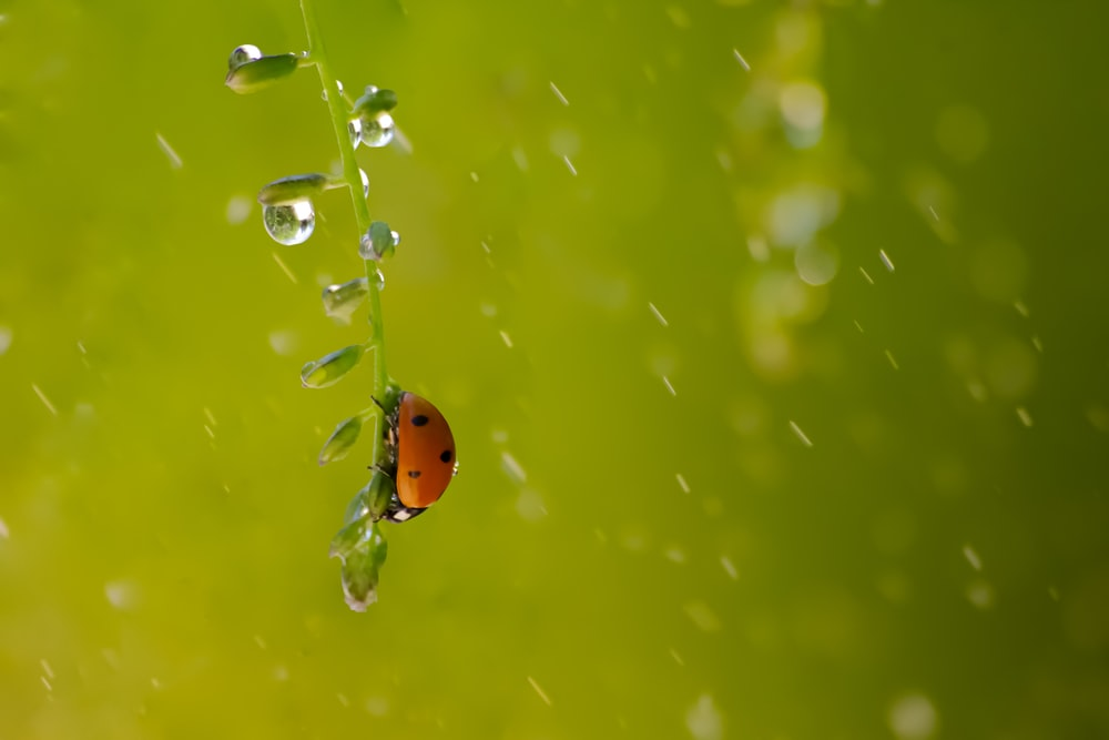 close-up photo of ladybird perching on stem covered with water droplet