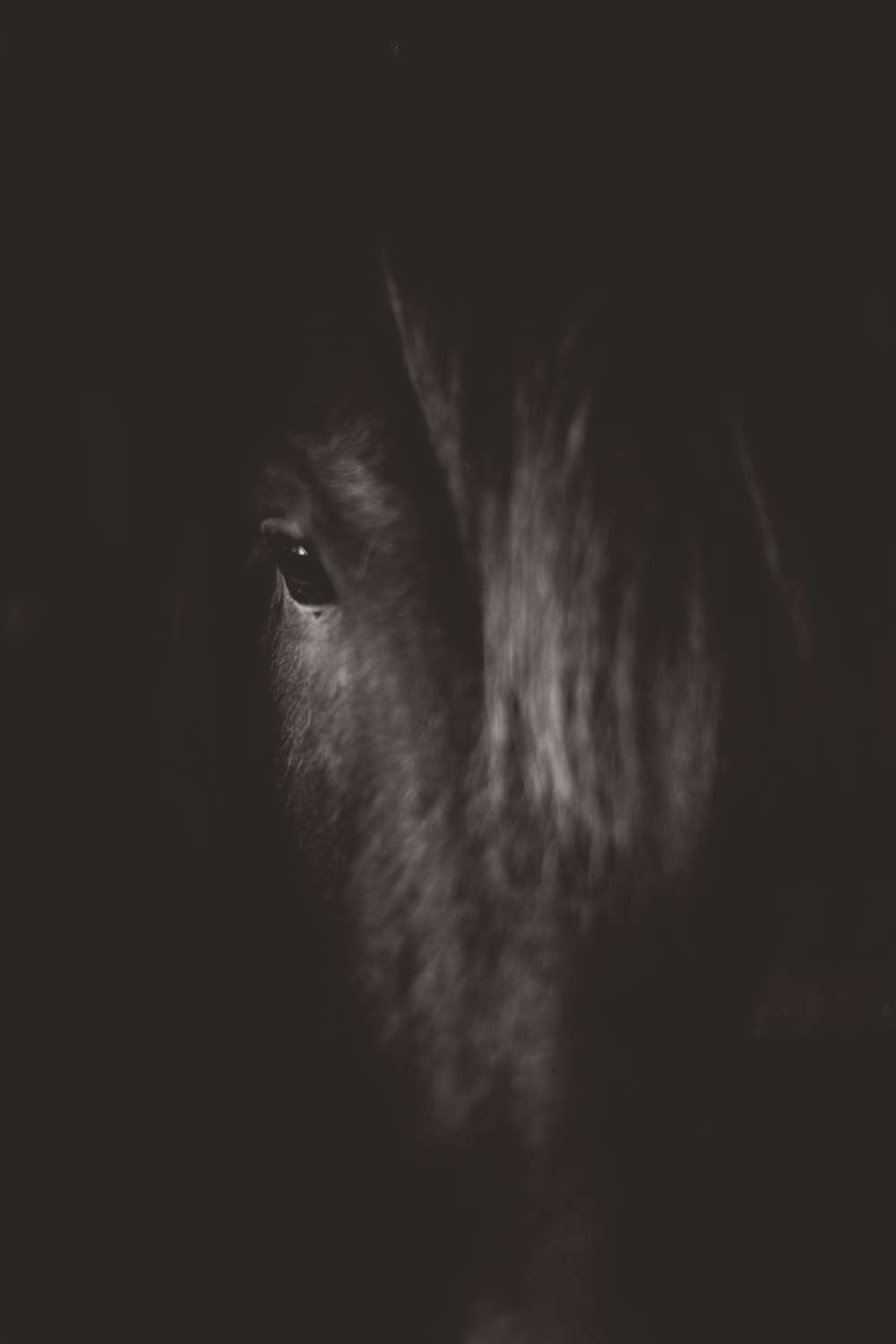 black stallion horse showing right eye