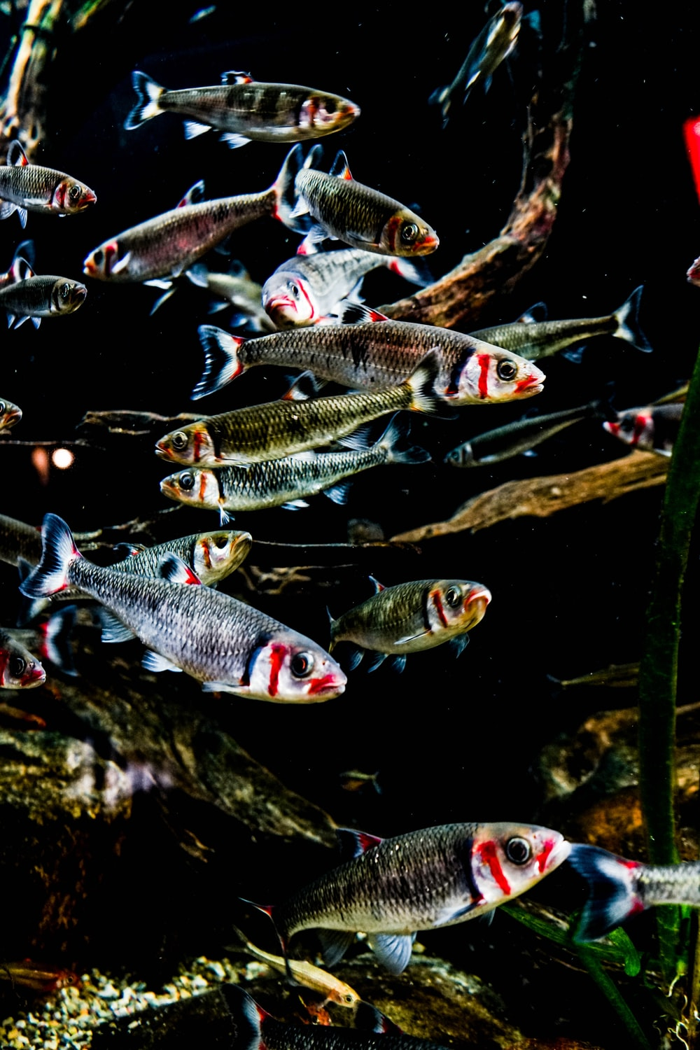 school of gray and red fish