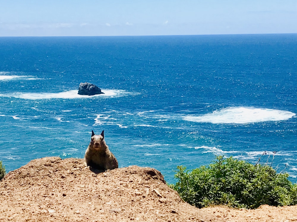 brown squirrel on a mountain cliff with blue ocean background