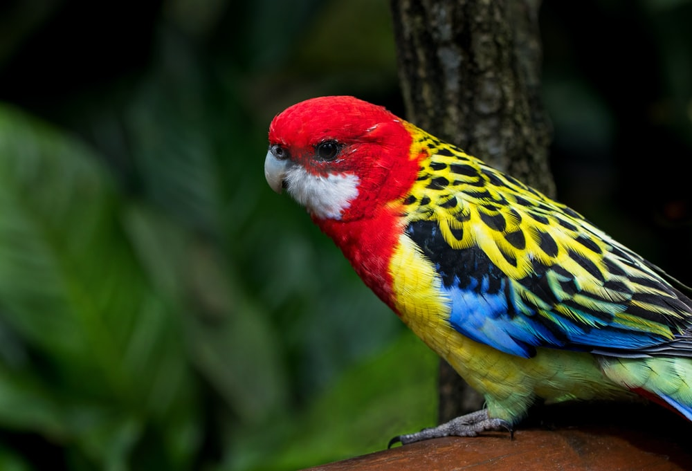 red and yellow bird