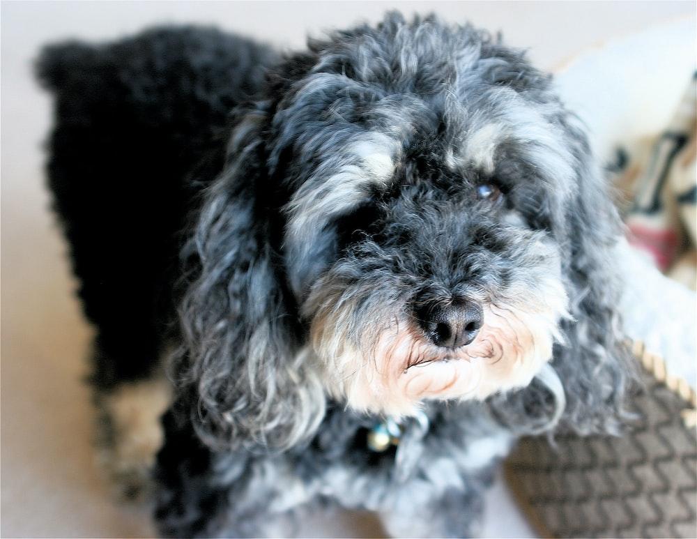 long-coated grey dog