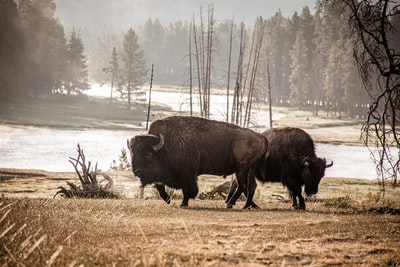 two black visons during daytime yellowstone zoom background