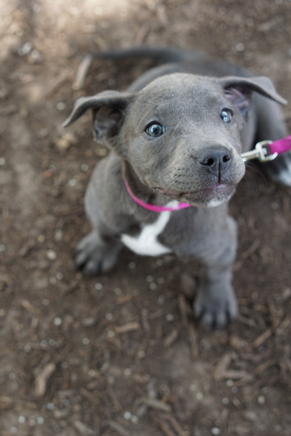 selective focus photography of Pitbull puppy