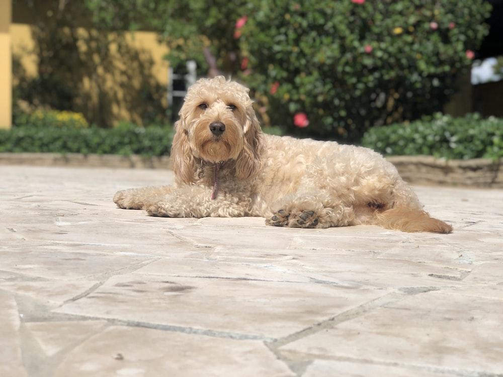 brown dog lying on floor