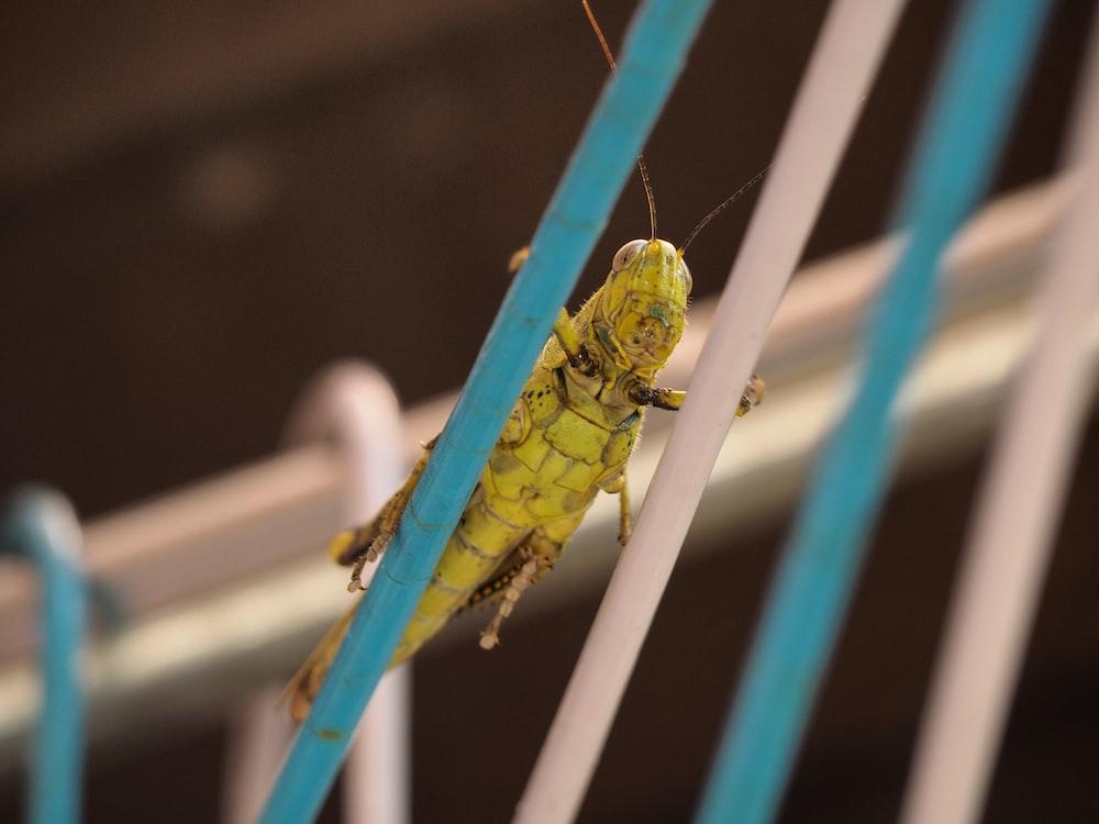 green grasshopper photography