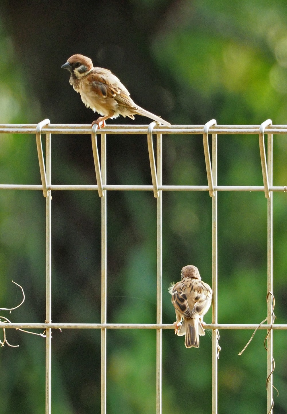 two brown sparrow birds on white metal fence