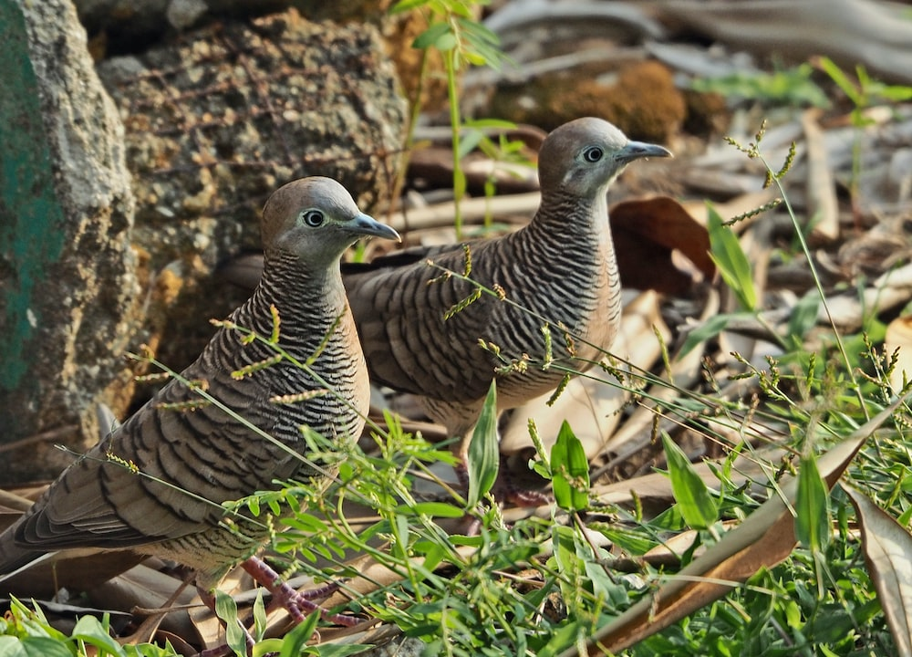 two gray birds on grass