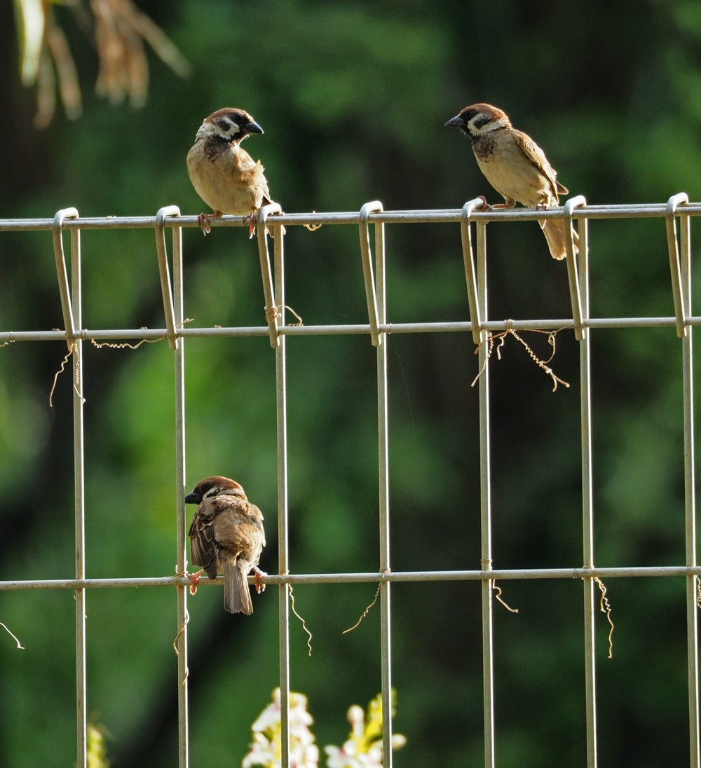 three brown sparrow birds on fence