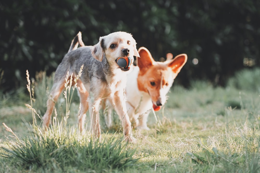 two dogs playing on open field