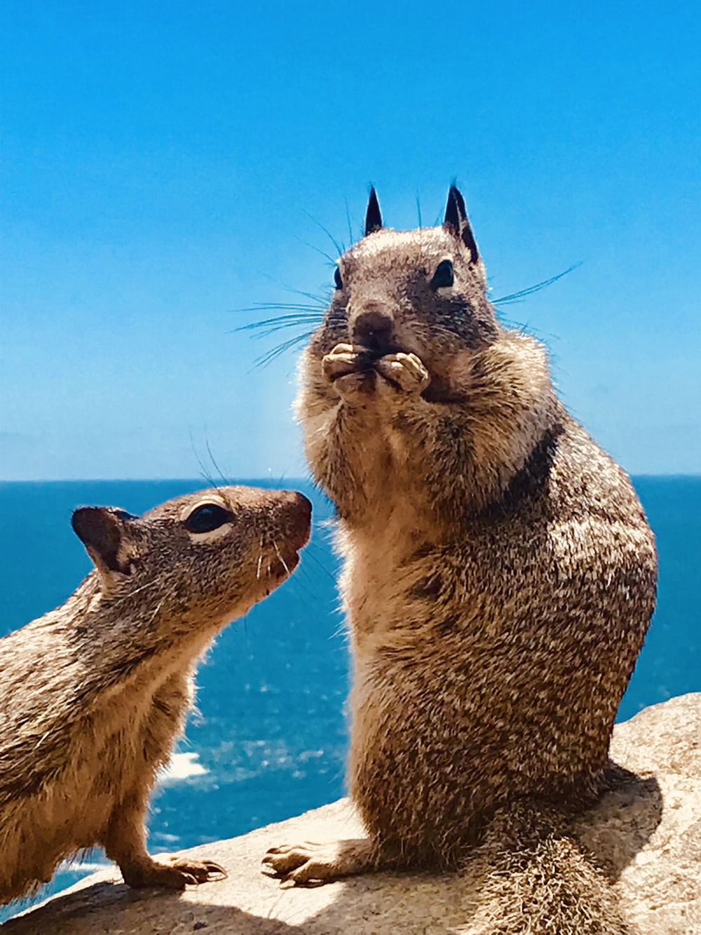 two brown squirrels
