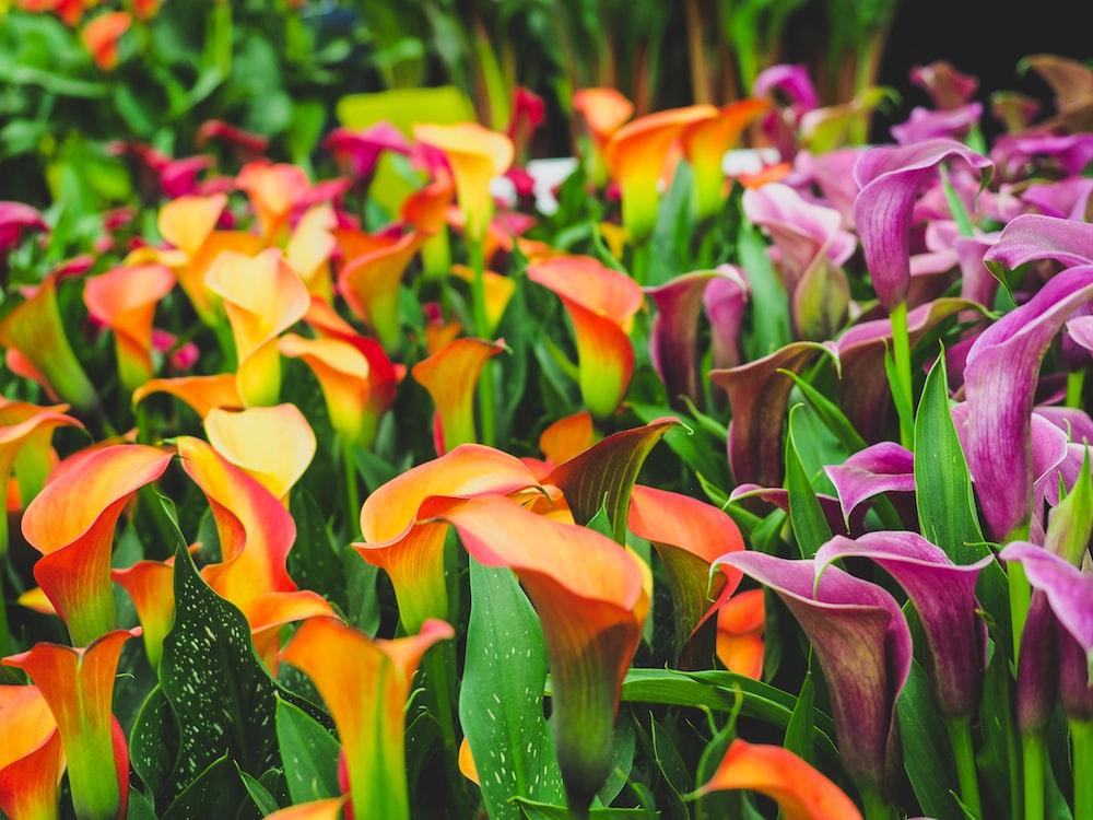 purple and orange lillies