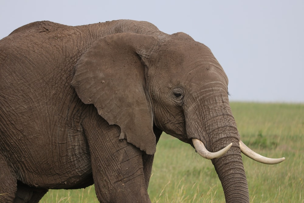 gray elephant surrounded by grass