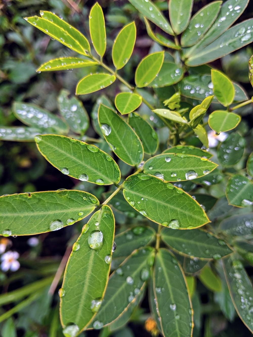 water dews on green leaf plant