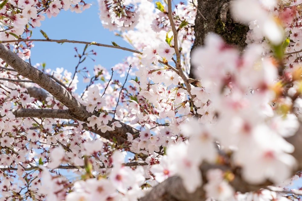 white-and-pink cherry blossom tree