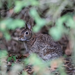 brown rabbit photography