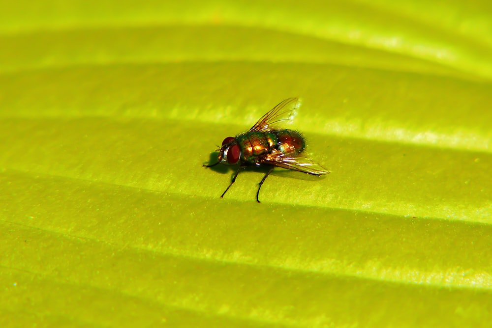 brown and black common house fly