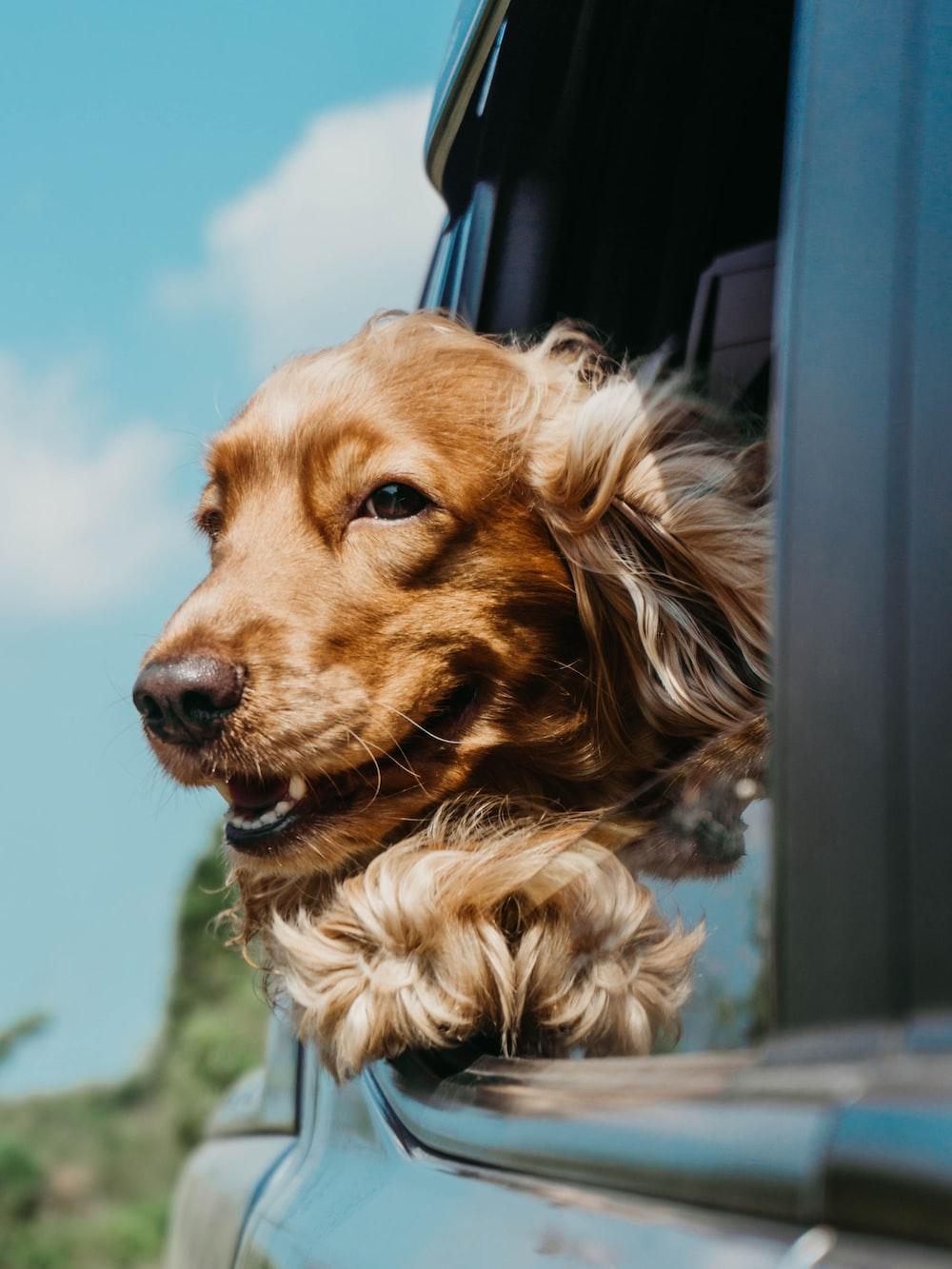 golden retriever inside car