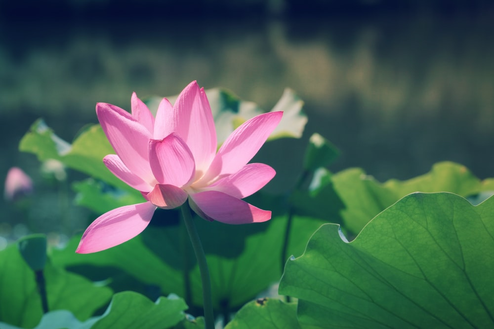 close up photography of pink lotus flower