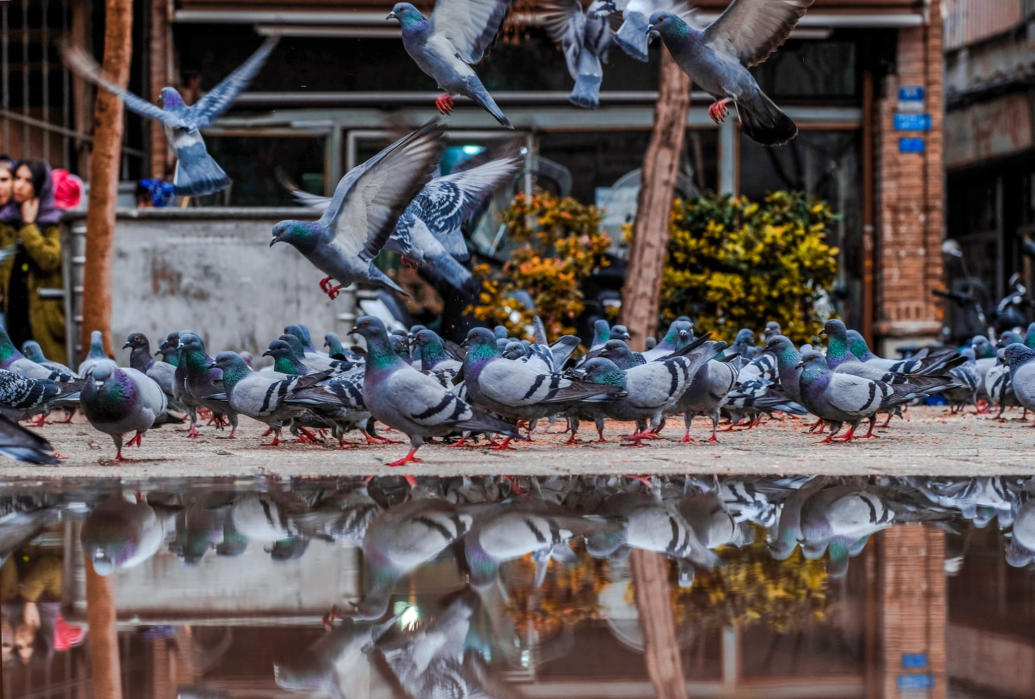 Plenty of pigeon at the park