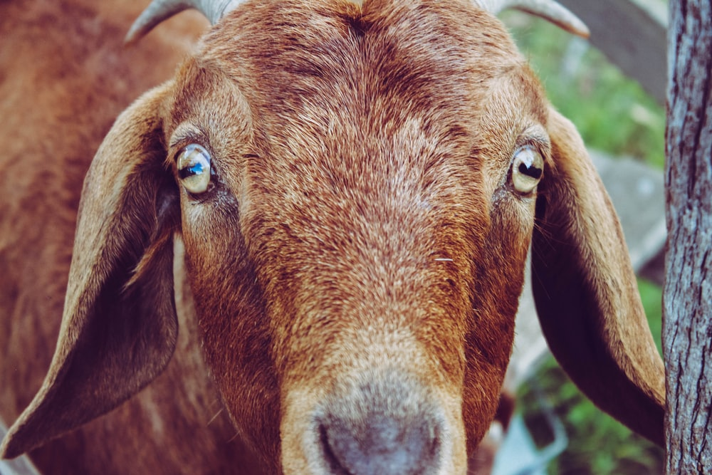 shallow focus photo of brown goat