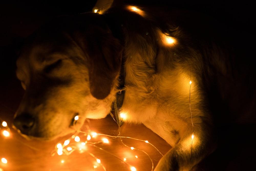 shallow focus photo of short-coated white dog near mini lights
