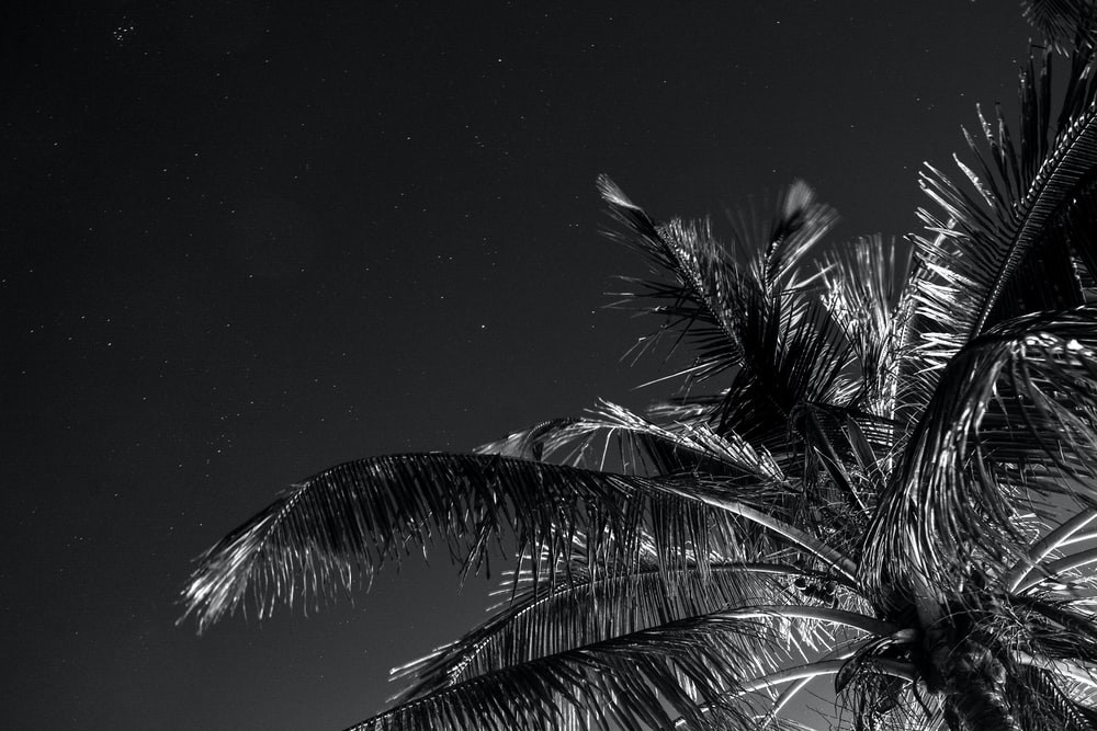 grayscale photography of coconut tree