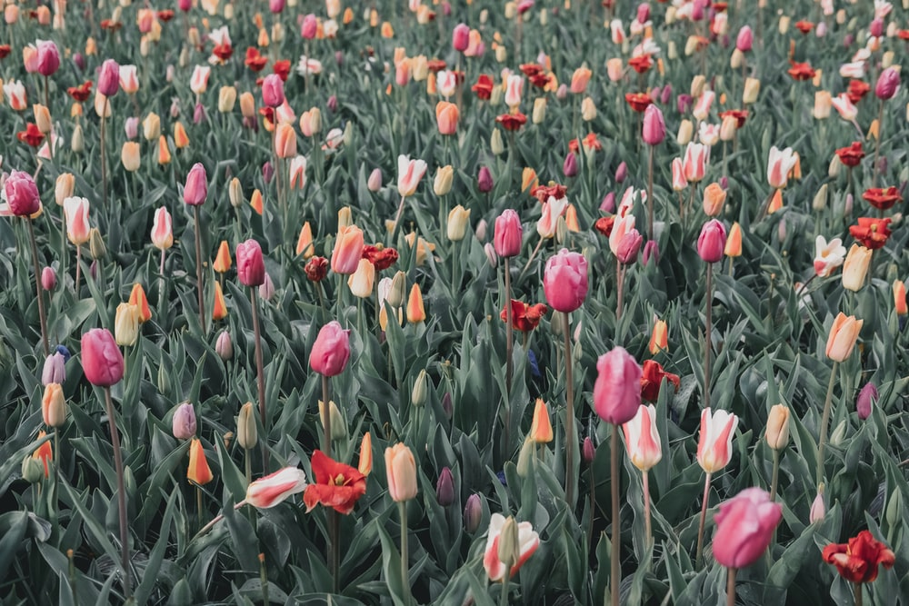 bed of tulips flower