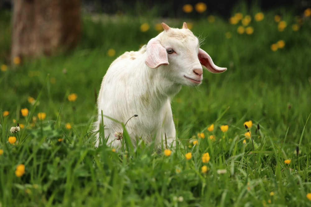 white goat standing on green grass field