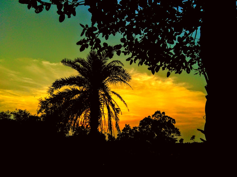 coconut palm tree view during sunset