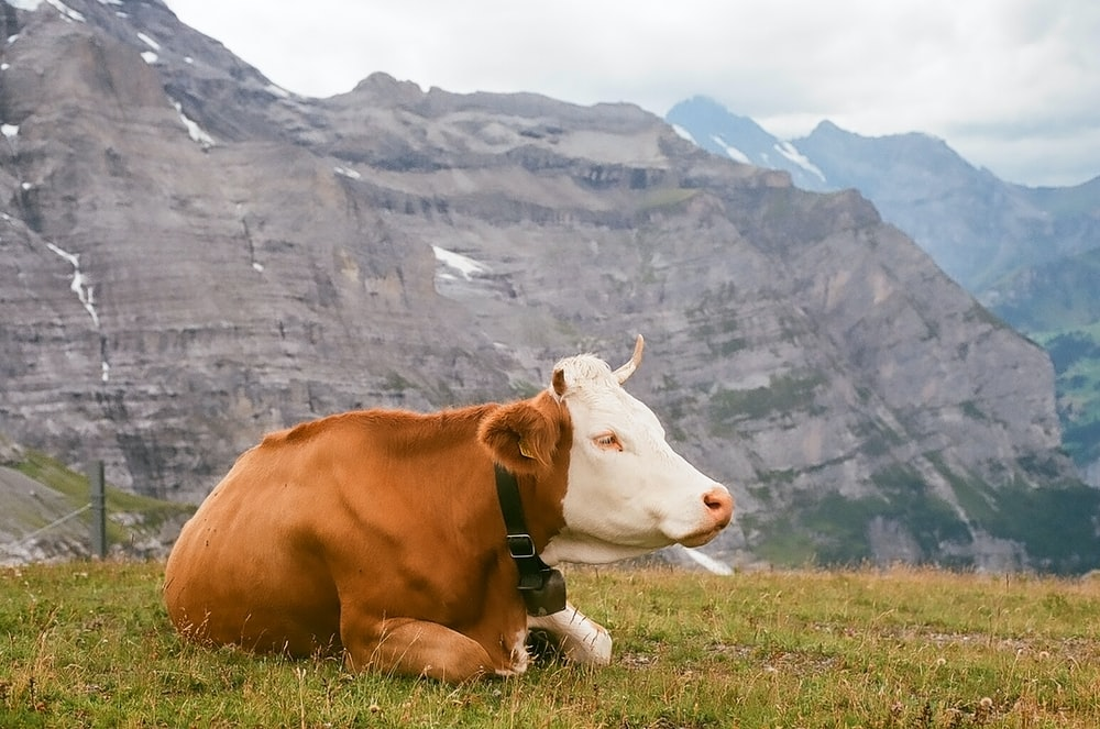 white and brown cow with harness
