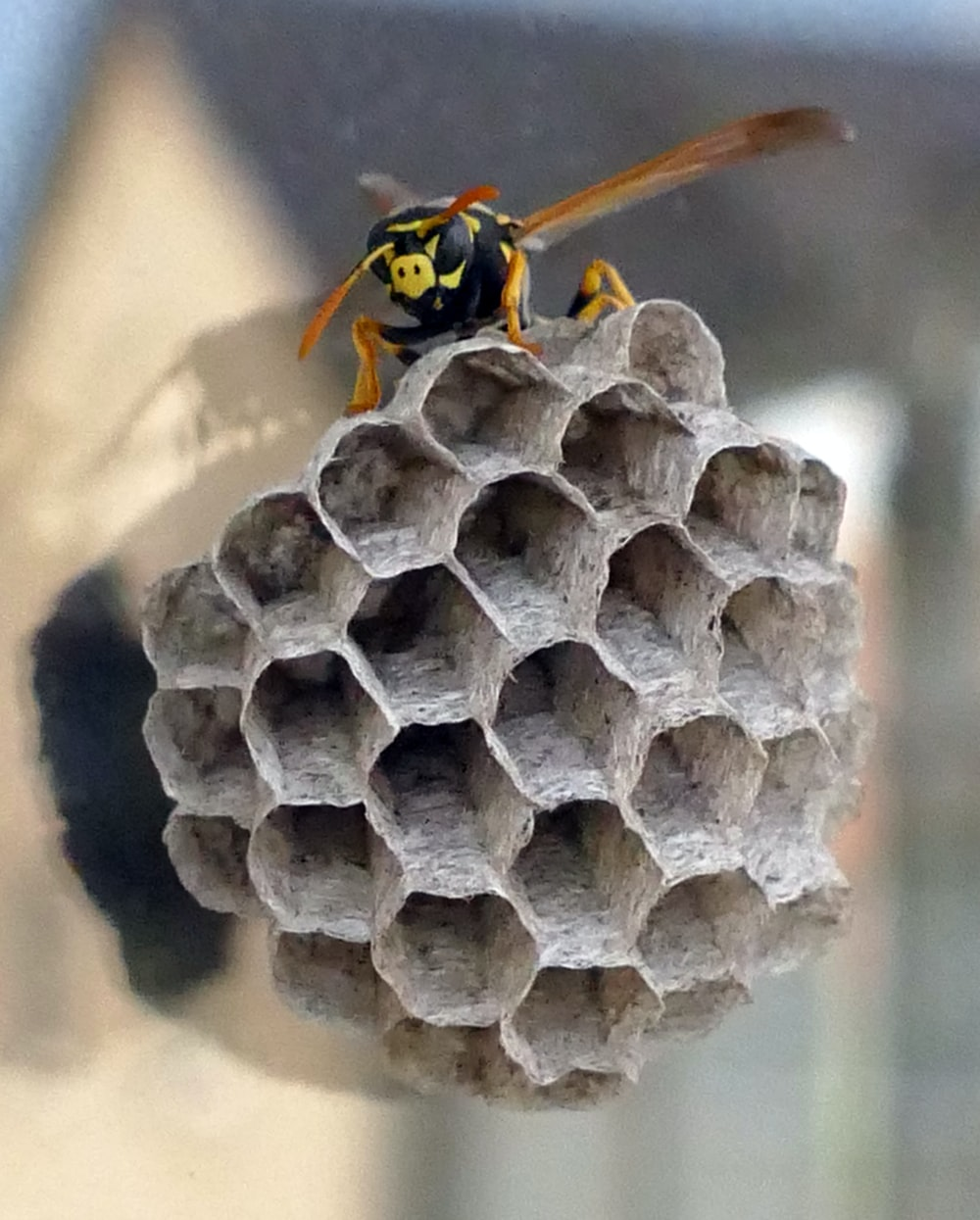black and yellow wasp on honeycomb